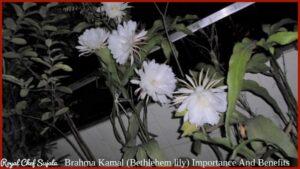 Brahma Kamal (Bethlehem lily) Importance And Benefits