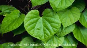 7 Amazing Health Benefits Of Giloy Juice