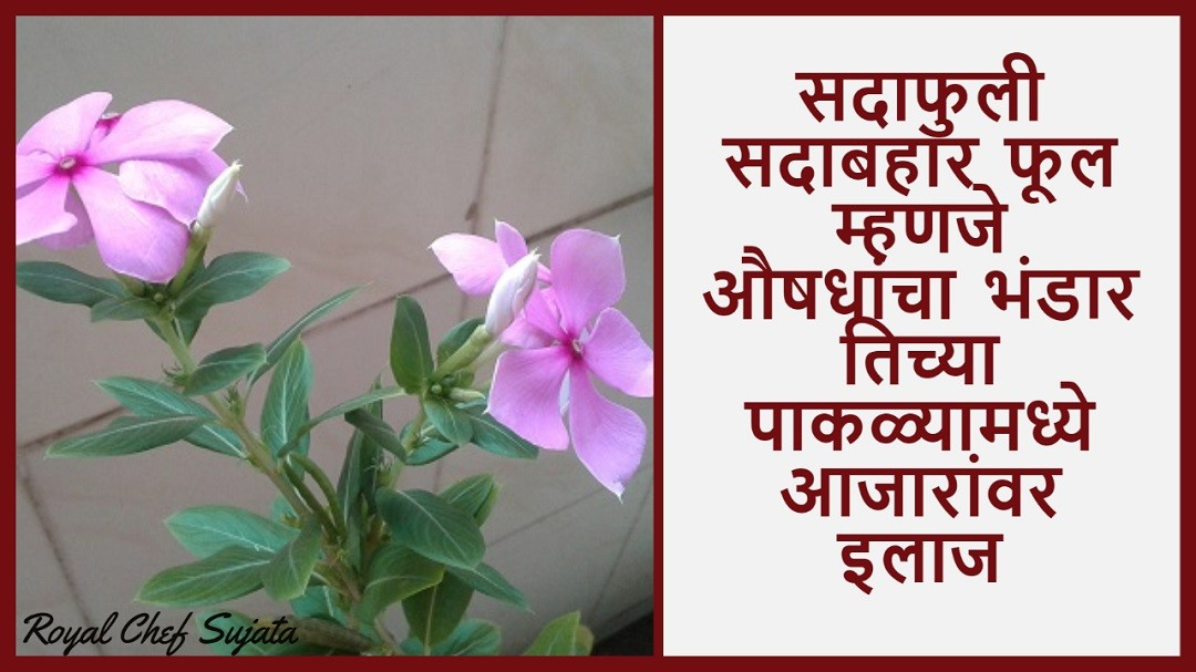 Sadafuli Sadabahar Evergreen Flower